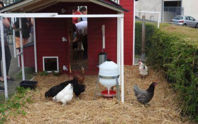 A Juziers, les poules récupèrent les déchets de la cantine – Article par Le Parisien